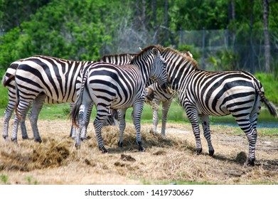 A Dazzle or a Huddle. Group of Zebras at a Zoo in Florida