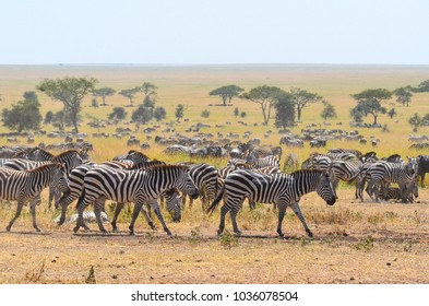 A dazzle of zebras on the plains, during the start of the migration at the Serengeti National Park, Tanzania