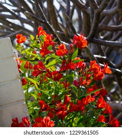 Dazzling Princess Lilies, Alstroemeria ,Peruvian Lilies family Alstroemeriaceae with striped, blotched and spotted  red flowers are stringy, bulbous rhizomes  producing  blooms from  spring to autumn.