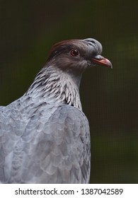 Dazzling Radiant Topknot Pigeon with Remarkable Plumage & a Striking Gaze.