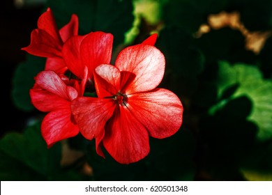 A dazzling red. Red flower small. On a dark background. Filmed with zoom. For illustration and decoration.