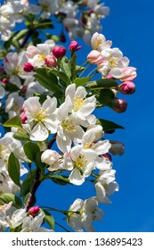 Dazzling white flower blossoms with pink unopened bud adorn a crab apple tree branch in spring.