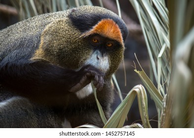 The De Brazza's monkey (Cercopithecus neglectus) is an Old World monkey endemic to the wetlands of central Africa. It is one of the most widespread African primates that live in forests.