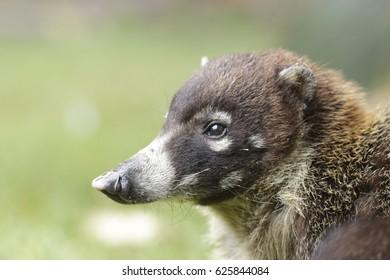 Coatí de nariz blanca (Nasua narica)