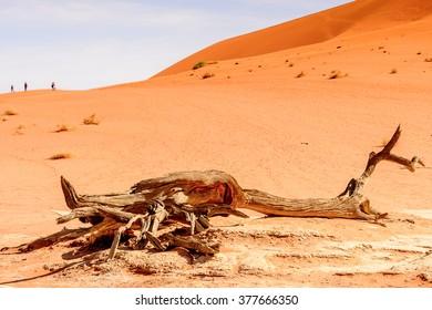 Dead Acacia erioloba in the Dead Vlei (Dead Valley), Namibia Desert, Africa