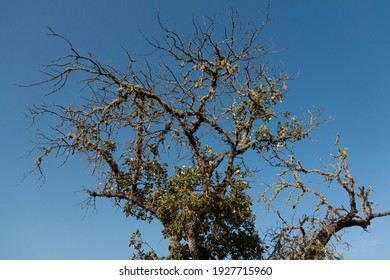 Iluminación trasera de un árbol de bellota muerto con un cielo azul claro en el sur de andalusia españa