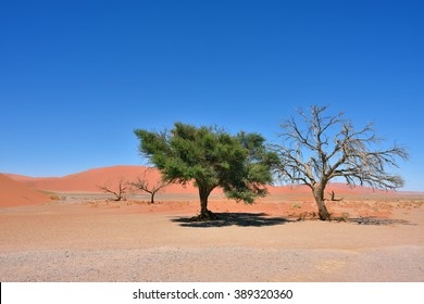 Dead and alive Camel Thorn Trees against blue sky and red dunes in Sossusvlei, Namib-Naukluft National Park at sunrise, Namibia, Africa.