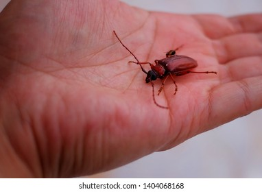 A dead Asian long-horned beetle (Batocera rufomaculata) or mango tree borer resting on an open hand. A species of beetle in the family Cerambycidae.