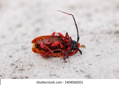 A dead Asian long-horned beetle (Batocera rufomaculata) or mango tree borer with its offspring walking all over the body. A species of beetle in the family Cerambycidae.