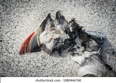 Dead Atlantic puffin washed up on sandy beach on North Uist, Outer Hebrides, Scotland, as a result of starvation due to the global warming and climate change.