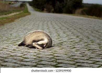 Dead Badger on cobble stone road