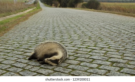 Dead Badger on cobble stone road in Portugal