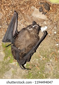 dead bat lying on the ground belly up with an ant over his body
