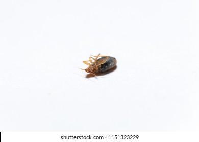 Dead bedbug isolated