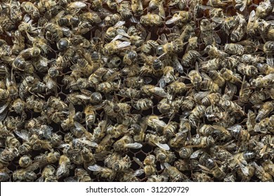Dead bees covered with dust and mites on an empty honeycomb from a hive in decline, plagued by the Colony collapse disorder and other diseases