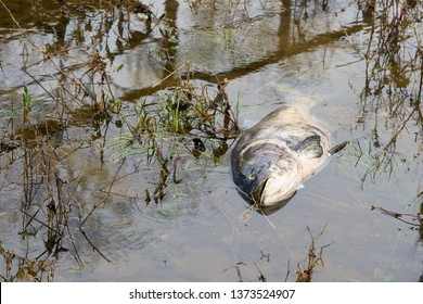 Dead bighead carp in a tributary of the Elbe in Glindenberg near Magdeburg