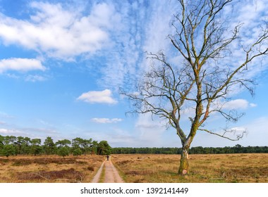 Dead birch tree in autumn. Open field wit walking man. Deelerwoud on the Veluwe, Netherlands.