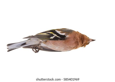 dead bird, the goldfinch, chickadee, white isolated background