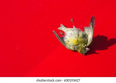Dead bird on the car hood