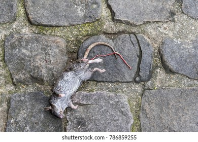 Dead black rat against Paris cobblestone.