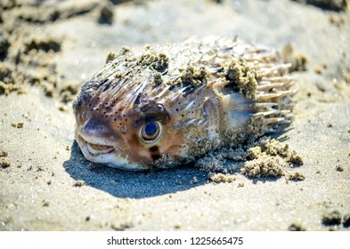 A dead blowfish in the sand