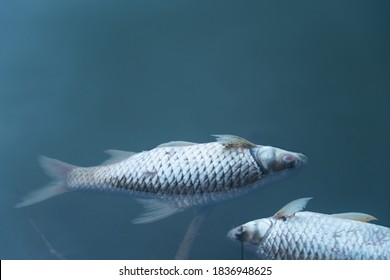 dead body of fish floating on blue natural water lake environment pollution background