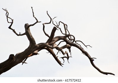 Dead branches of a tree