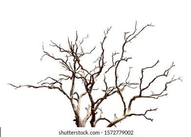 Dead branches of a tree.Dry tree branch.Part of single old and dead tree on white background.Silhouette of Dry wooden stick from the forest isolated .