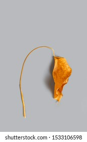 Dead brown dry heart shape philodendron leaf and stem on gray background / autumn heartbreak and death concept