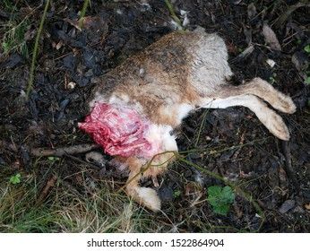 Dead brown hair european rabbit with chopped out head lying outside, full body
