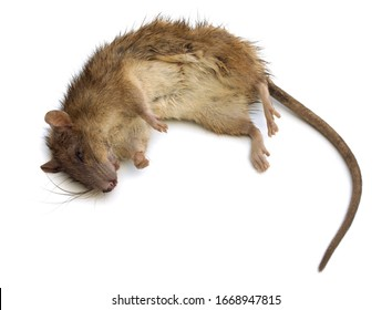 Dead brown rat on white bg. Stuck rat on white background, with natural shadow. Bitten dead rat, close up shot. Photo of numb rat. Lifeless rodent.