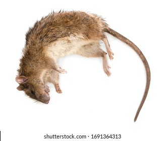 Dead brown rat on white bg. Top view. Stuck rat on white background, with natural shadow. Bitten dead rat, close up shot. Photo of numb rat. Lifeless rodent.