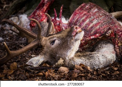 Dead buck lays on ground in forest