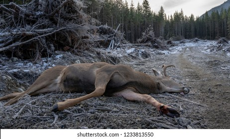 A Dead Buck on the side of a logging road in the fall.