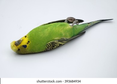 dead-budgie-260nw-393684934.jpg