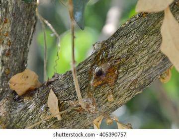 dead bug in gum tree
