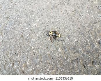 dead bumblebee on black asphalt