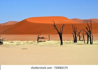Dead Camelthorn Trees against blue sky in Deadvlei, Sossusvlei. Namib-Naukluft National Park, Namibia, Africa