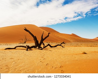Dead Camelthorn trees and roots against red dunes and blue sky in Deadvlei, salt pan Sossusvlei. 450 year old dead trees. Namib-Naukluft National Park, Namibia, Africa
