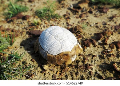 Dead Central Asian tortoise (Agrionemys horsfieldii) in the spring rocky desert of the Western Kazakhstan