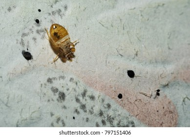 Dead cimicidae. Bed bug home macro on the wall
