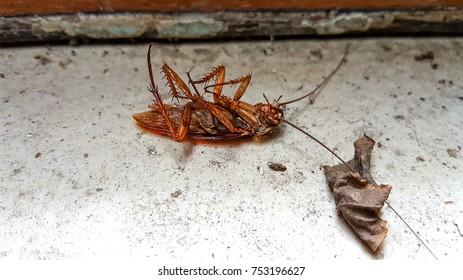 Dead Cockroach and dry leaf on dirty dust floor