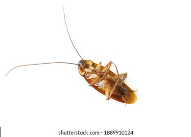 Dead cockroach with isolated background