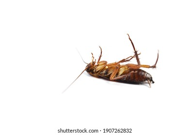 Dead cockroach isolated on white background (focus selection).