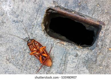 Dead cockroach on cover the drain