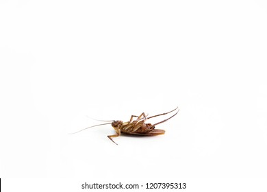 Dead cockroach on white background , pest control concept