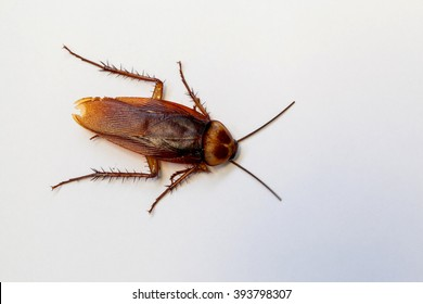 Dead cockroach on white background