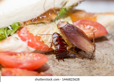 Dead cockroach, The problem in the house because of cockroaches living in the kitchen. Cockroach eating whole wheat bread on  wood cutting board background. Cockroaches are carriers of the disease.