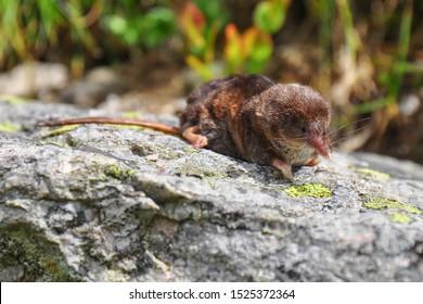 Dead Common Shrew Sorex araneus on the stone. The common shrew (Sorex araneus), also known as the Eurasian shrew. High Tatras national park. Slovakia.