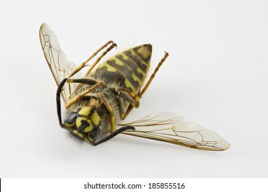 Dead Common wasp (Vespula vulgaris) lying on its back, isolated on White.